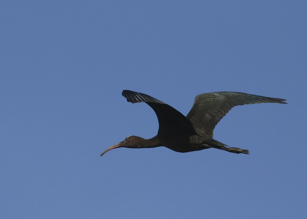 Glossy Ibis flyover, Wallkill River NWR, 8/29/14.