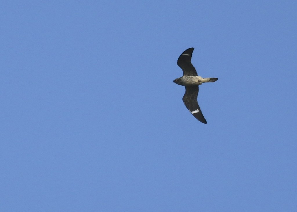 This was an exciting bird to see - it had been a couple of years since my last Common Nighthawk. Wallkill River NWR, 8/29/14.