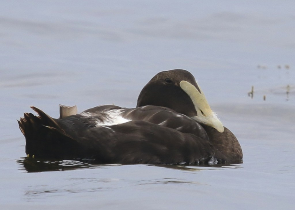 Common Eider at Bar Harbor, Maine, 7/27/14.