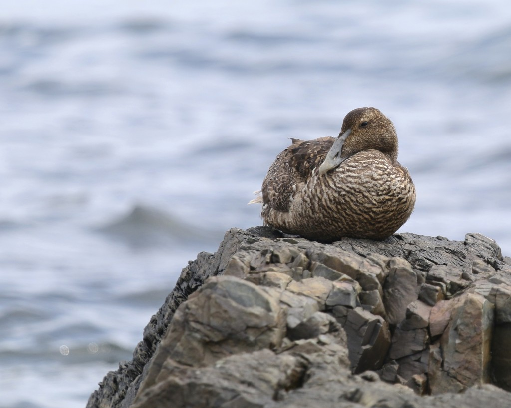 A female Common Eider rests on a rock on the shore. Bar Harbor, Maine 7/27/14.