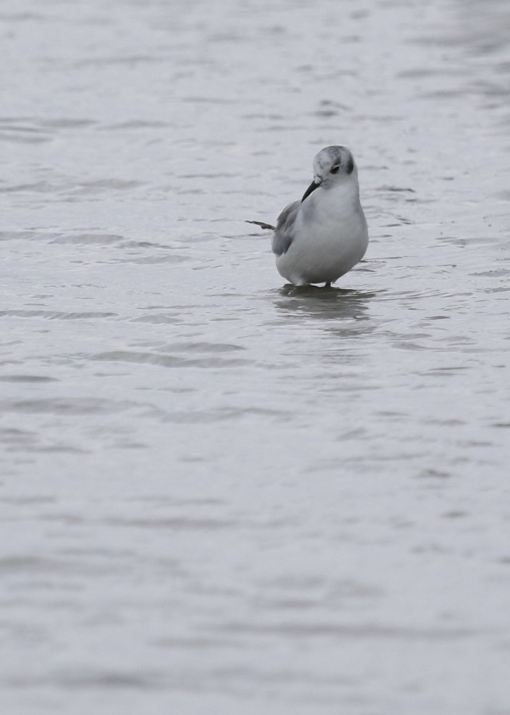 Sweet bird. Bonaparte's Gull in Ogunquit, Maine 7/26/14.
