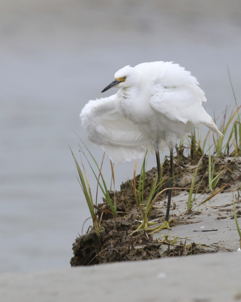I finally got a puffed up egret shot. Snowy Egret at Ogunquit Beach, Maine 7/26/14.