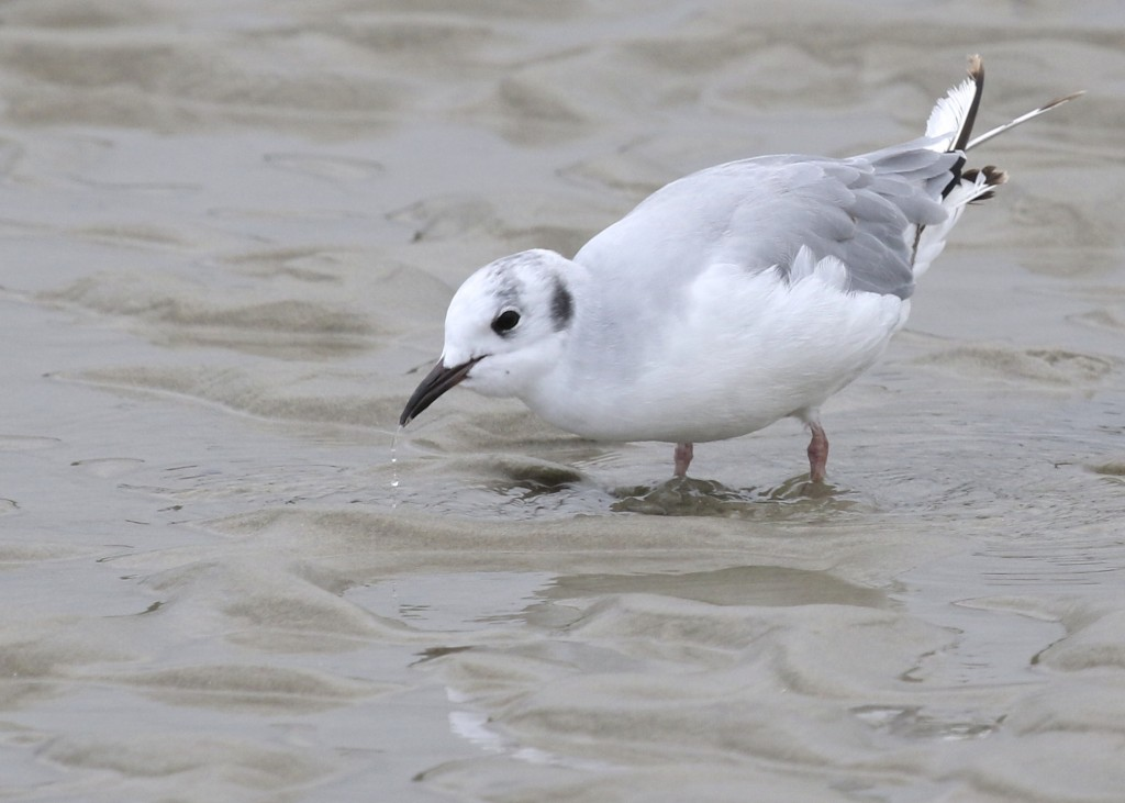 One of my favorites, I happy to finally get close enough for a decent shot. Bonaparte's Gull at Ogunquit Beach, 7/26/14.