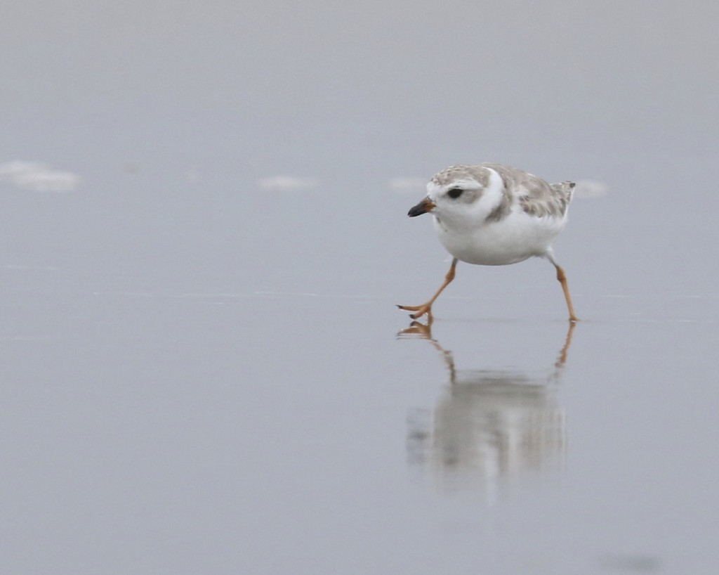 One of six life birds I got during the trip - Piping Plover at Ogunquit, Maine 7/26/14.