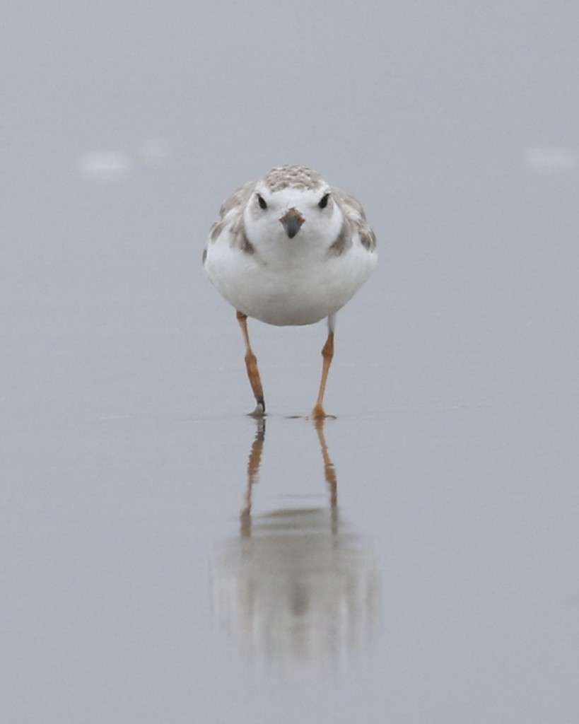 Very cute bird - Piping Plover at Ogunquit, Maine 7/26/14.