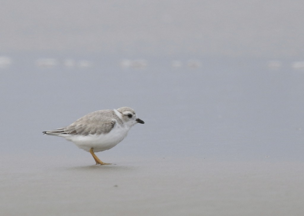 Piping Plover at Ogunquit Beach, 7/26/14.