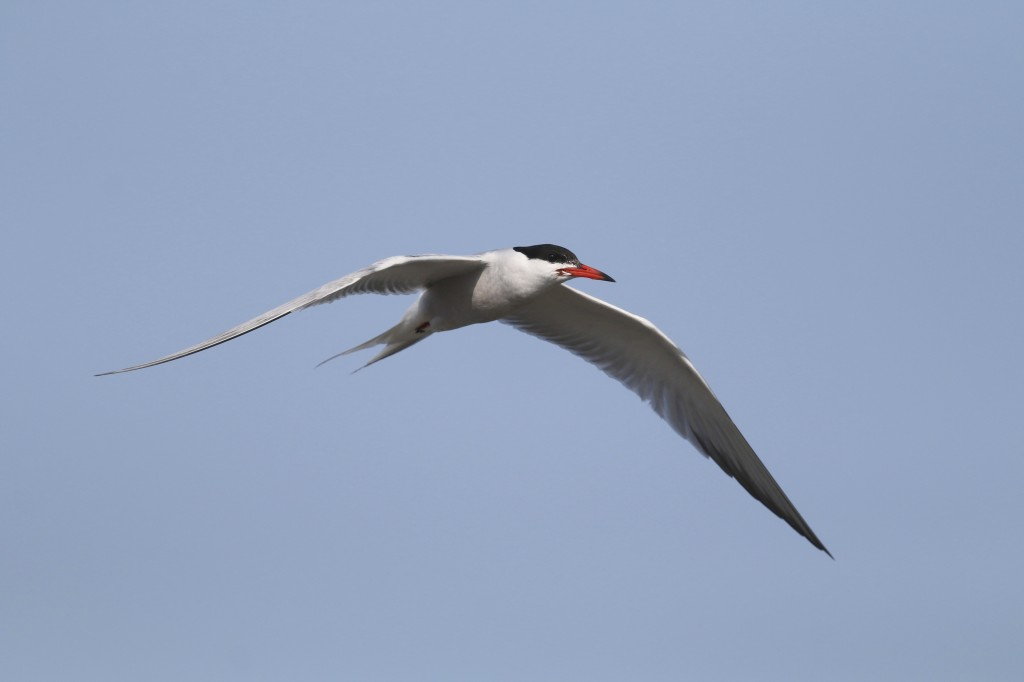 Also seen from Thurston's Lobster Pound, I love this shot of a Common Tern - it is SOOC (straight out of camera).