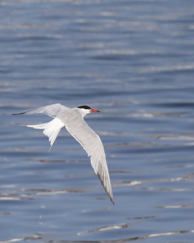 One more Common Tern shot. This seems to be a tough bird to get a good photo of, I took a LOT of tern photos in Maine and only a very few were any good. This was also at Thurston's Lobster Pound in
