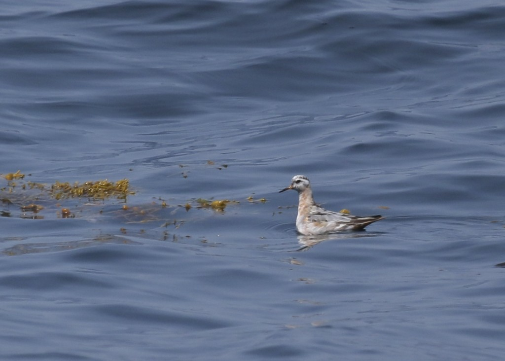 One more Red Phalarope,Whale Watching Tour off of Bar Harbor ME, 8/1/14.