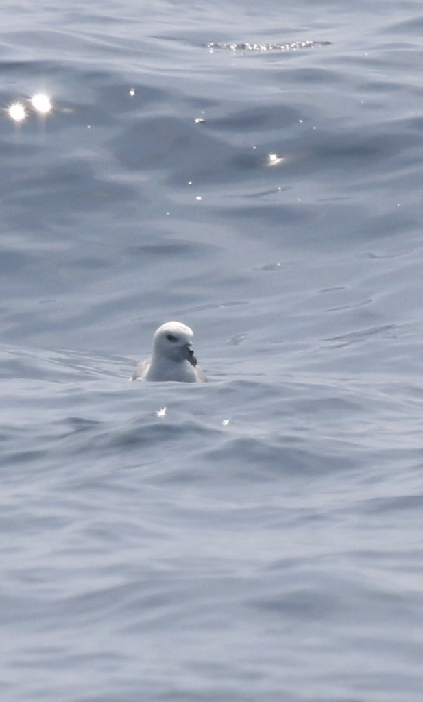 I have this as a Northern Fulmar, Whale Watching Tour off of Bar Harbor, 8/1/14.