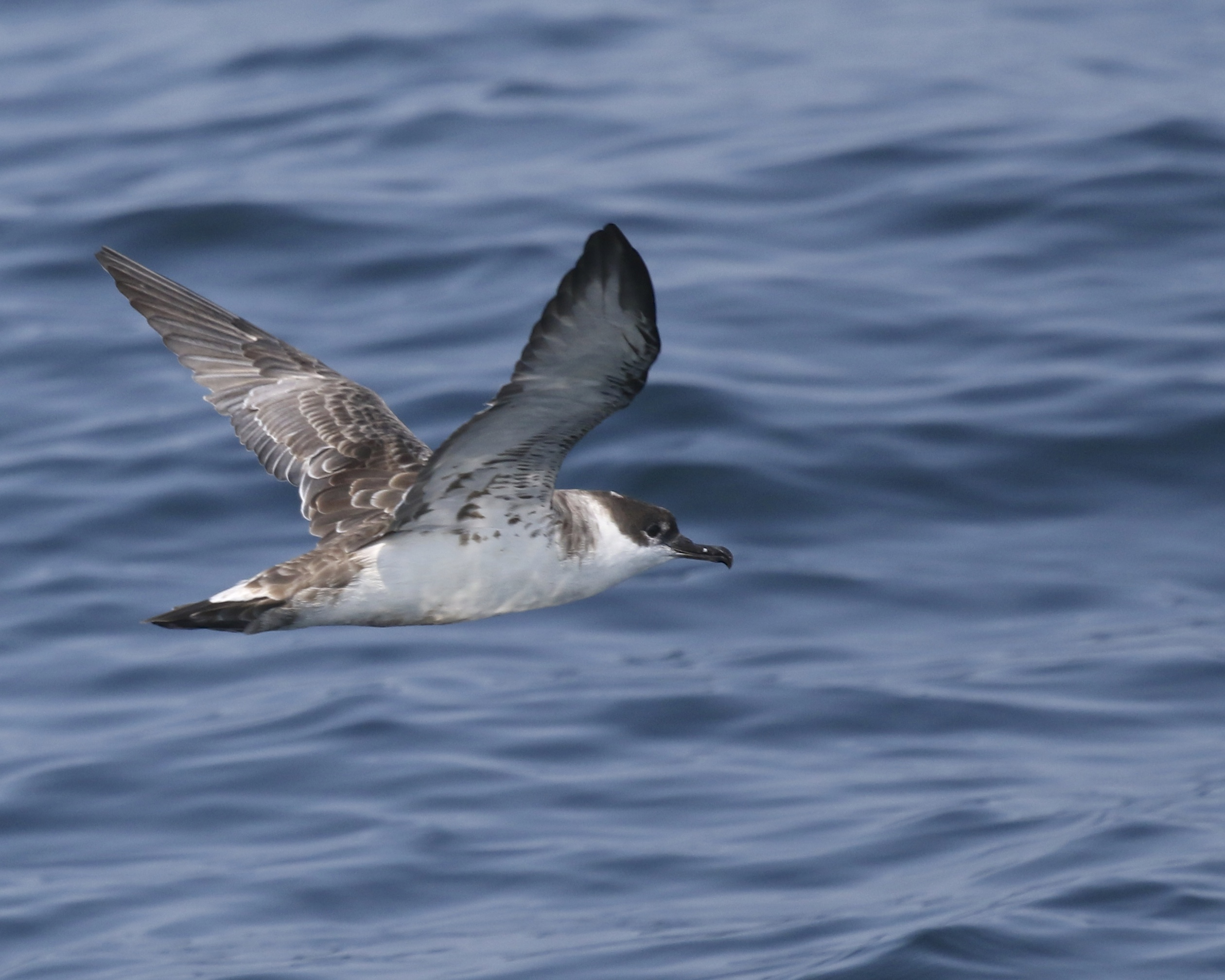 We also had many Great Shearwaters. Whale Watching Tour off of Bar Harbor ME, 8/1/14.
