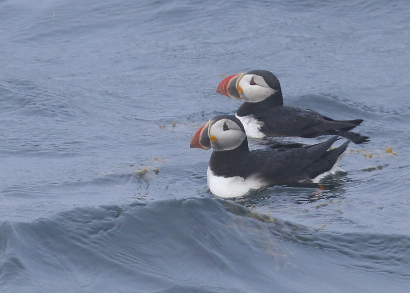 A pair of Atlantic Puffins, Eastern Egg Rock Island ME, 8/4/14.