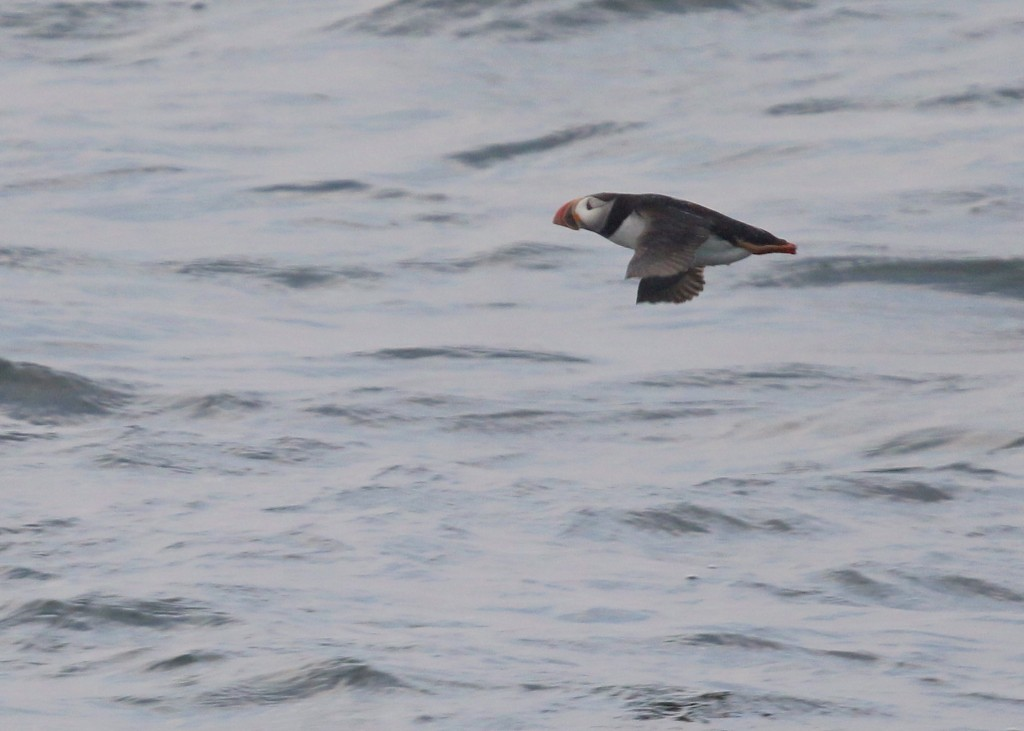 The puffins were tough to catch in flight, and this is my best effort. Puffin Watch, New Harbor to Eastern Egg Rock ME,  8/4/14.