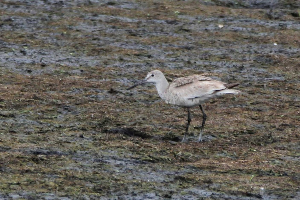 Willet at Wallkill River National Wildlife Refuge - Liberty Loop,  8/13/14. Photo by Linda Scrima.