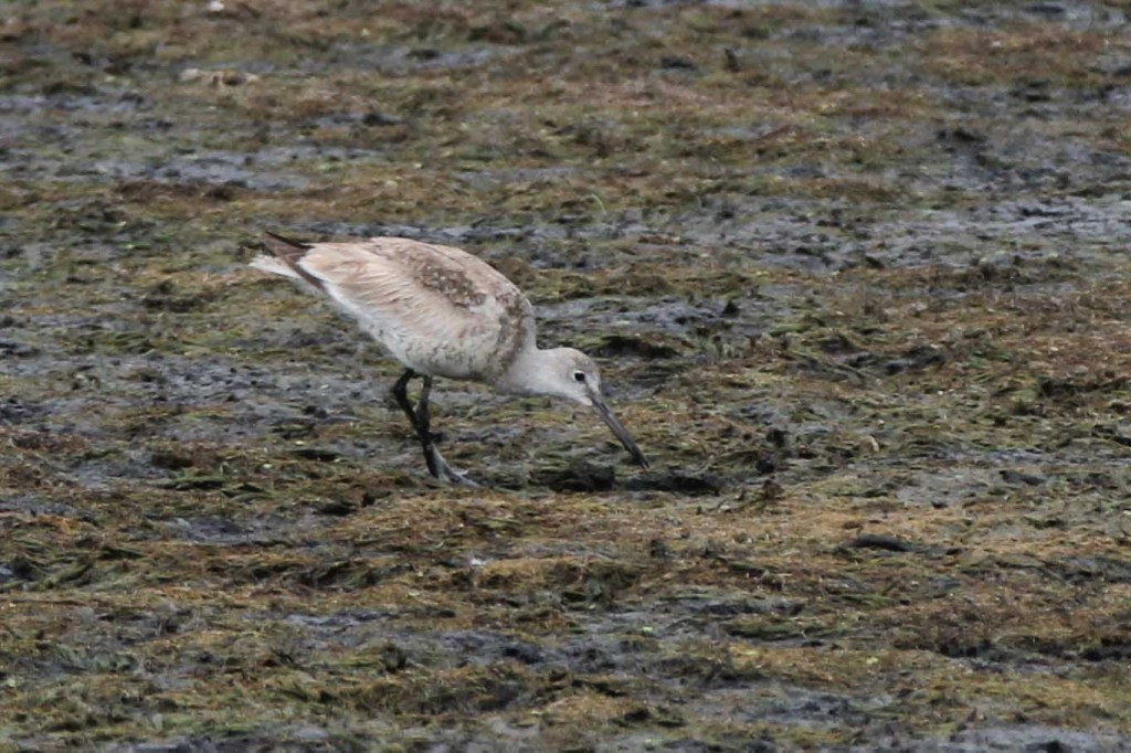 Willet at the Liberty Loop, 8/14/14. Photo by Linda Scrima.