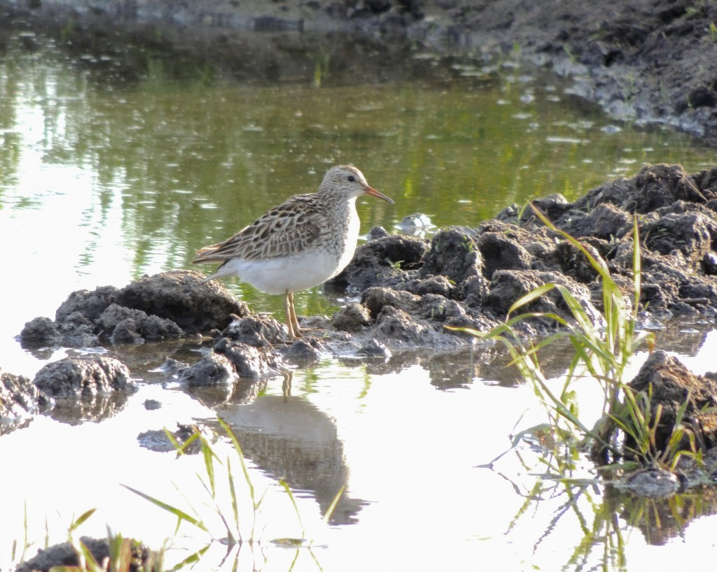 Pectoral Sandpiper at Old Warren Sod Farm, 8/28/14. Photo by John Haas. I had a camera meltdown when John located this Pectoral Sandpiper and was unable to get a shot. Thanks to John for giving me this one.