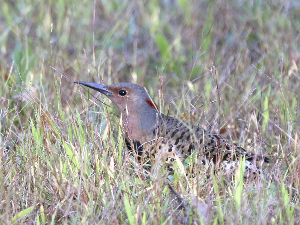 A female Northern Flicker takes a brief break from feeding in the grass. 6 1/2 Station Road Sanctuary, 9/28/14.