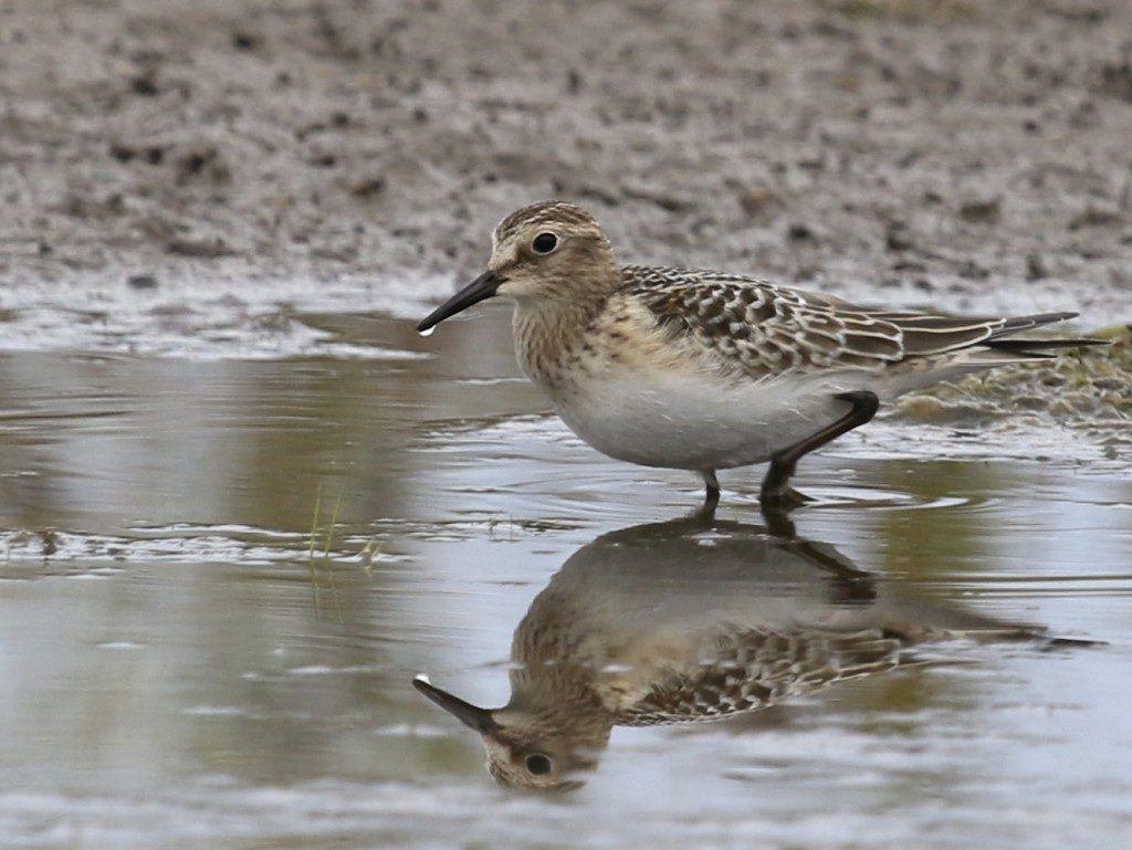 Baird's Sandpiper, located by John Haas at Apollo, 9/29/14.