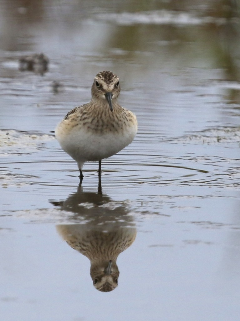 I typically do not like shots of birds head-on, but I sort of like this shot, plus it shows the interesting shape of this bird's body. Baird's Sandpiper at Apollo Plaza, 9/29/14.