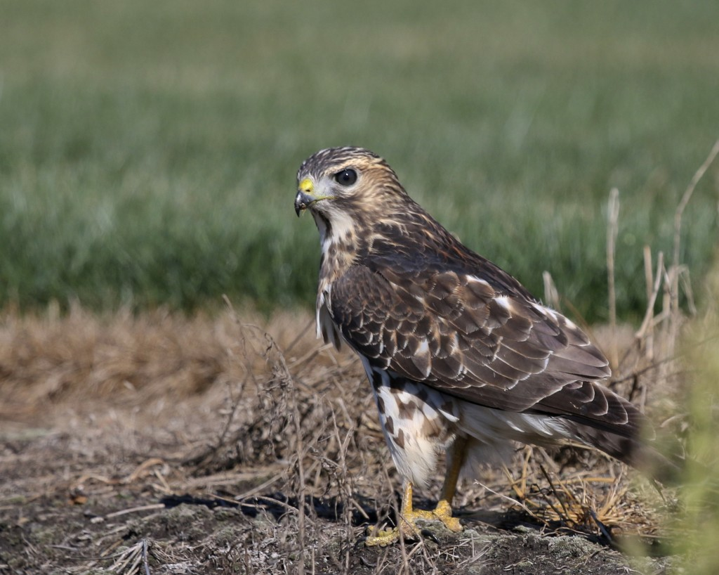 Broad-winged Hawk in Pine Island NY, 9/3/14.