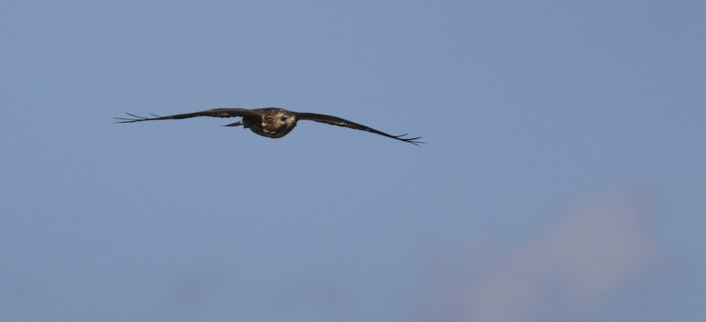 Broad-winged Hawk in flight. Pine Island, NY 9/3/14.
