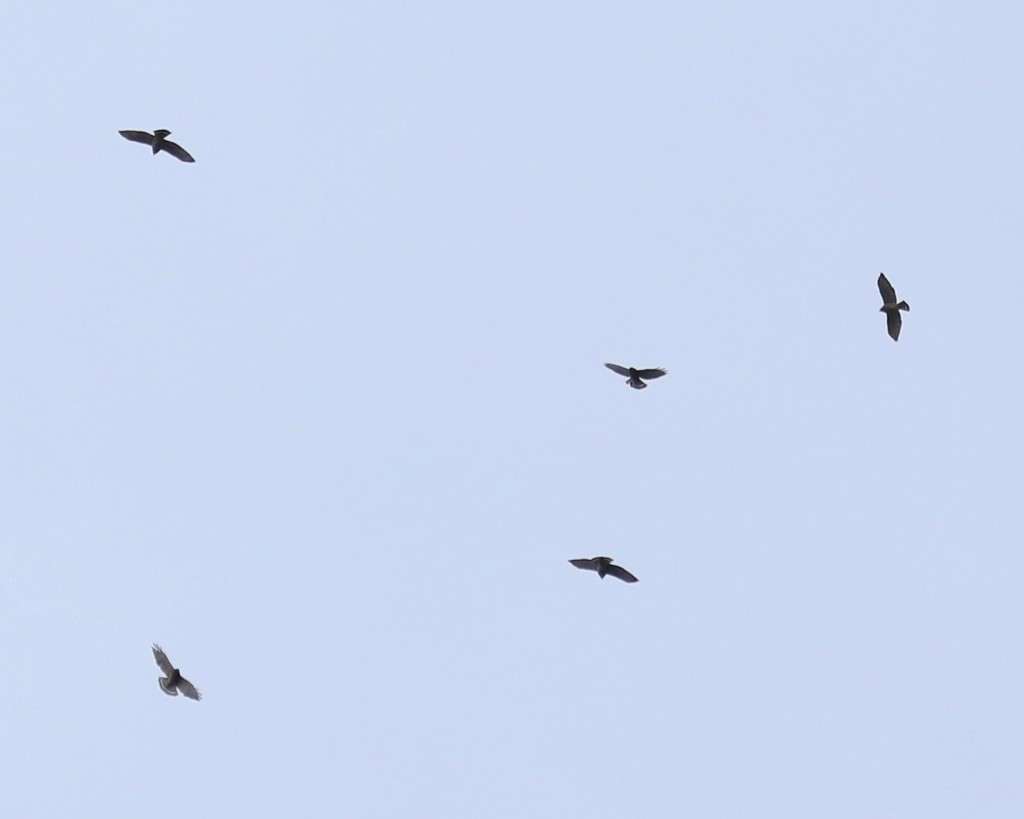 Five of the 336 migrating Broad-winged Hawks at Mt. Peter Hawk Watch, 9/13/14.