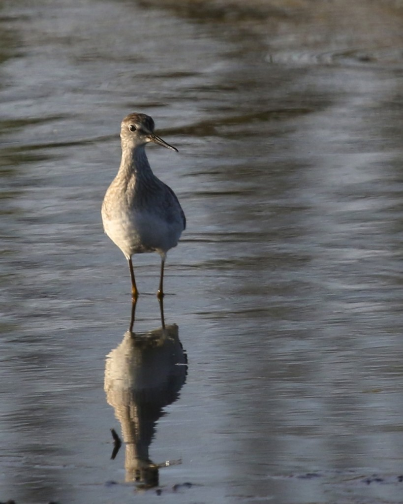 Lesser Yellowlegs - Wallkill River NWR, 9/15/14.