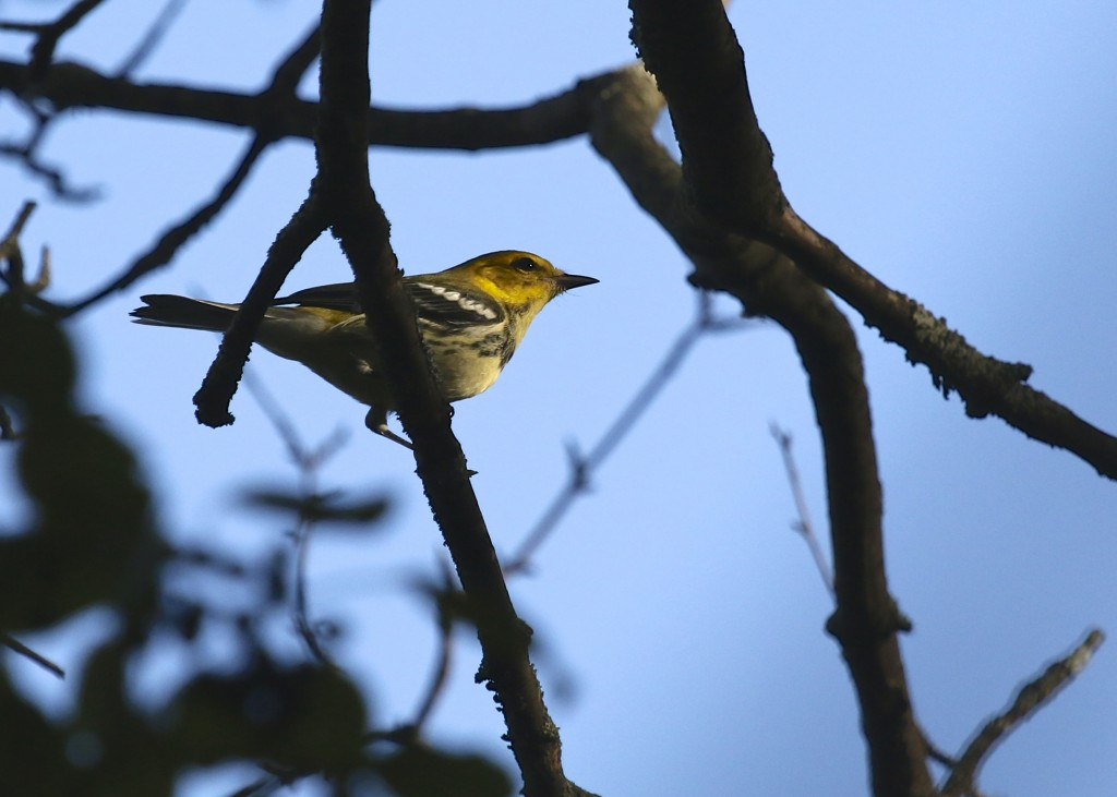 Black-throated Green Warbler at 6 1/2 Station Road Sanctuary, 9/18/14.
