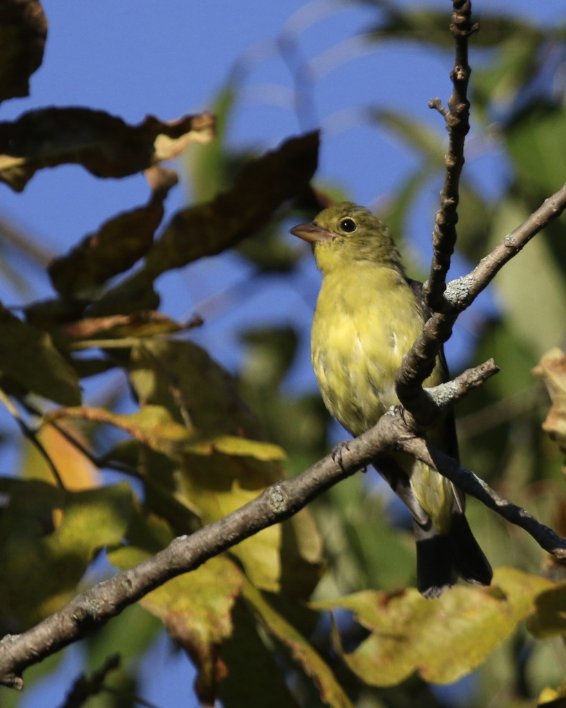 Scarlet Tanager at 6 1/2 Station Road Sanctuary, 9/18/14.