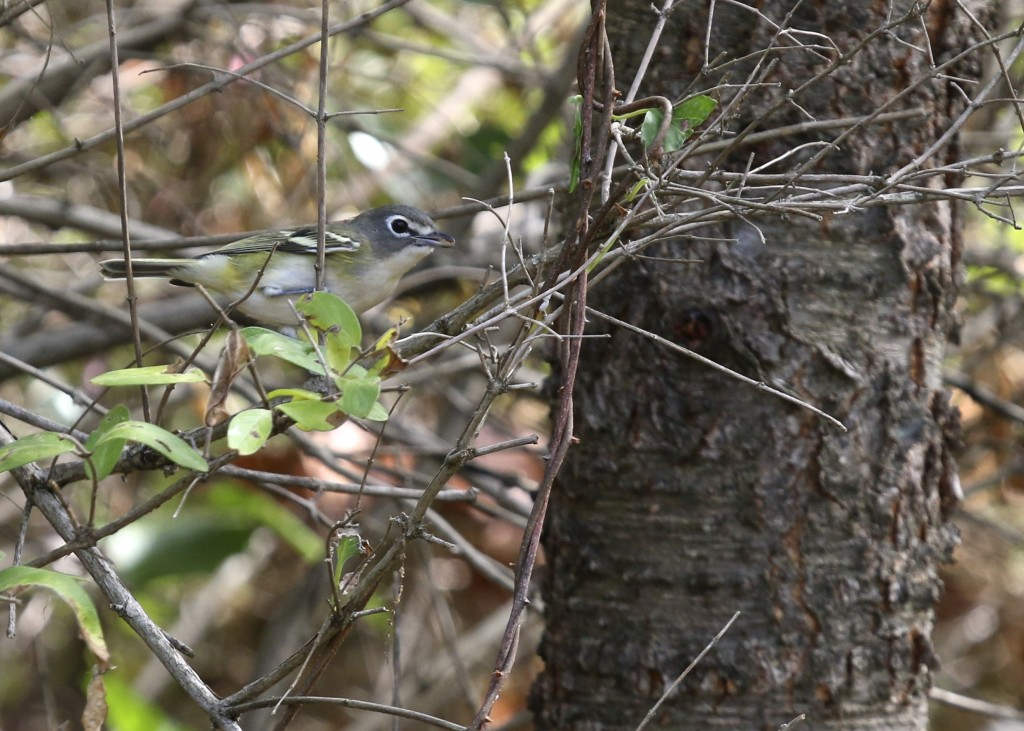 Blue-headed Vireo on the Heritage Trail at 6 1/2 Station Road Sanctuary, 9/21/14.