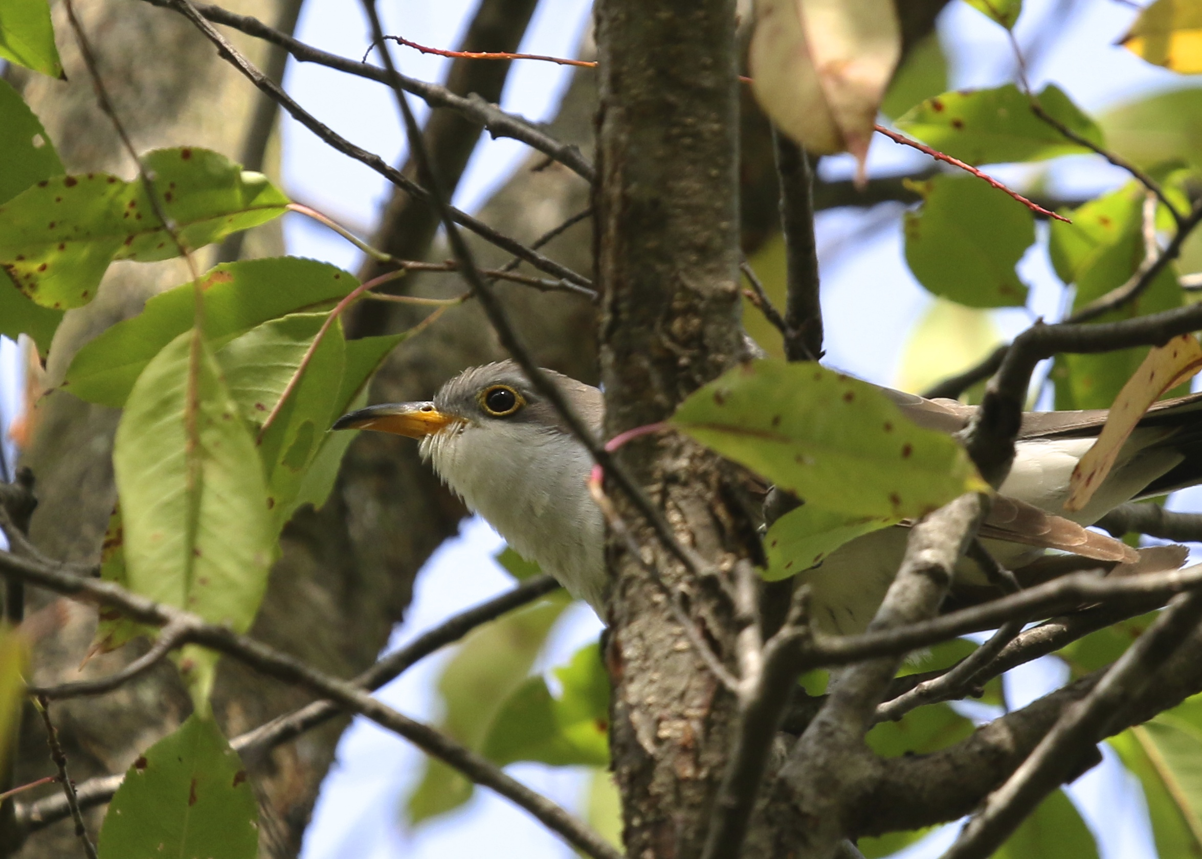 This Yellow-billed Cuckoo made my morning. 6 1/2 Station Road Sanctuary, 9/21/14.