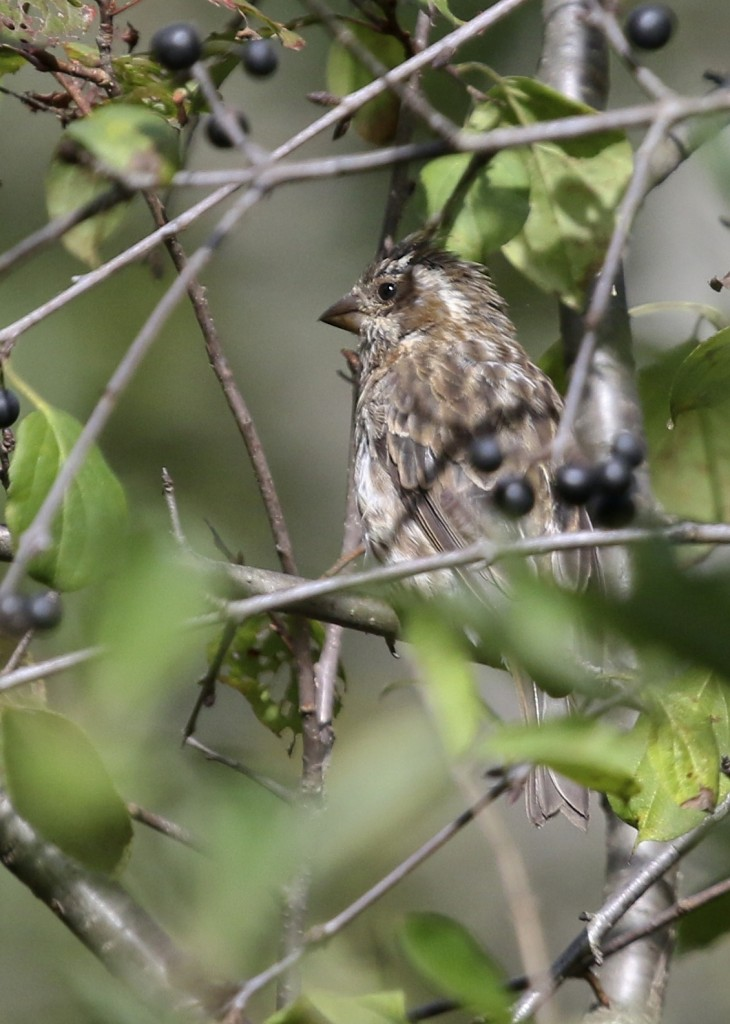 I was happy to get this bird in pretty good  focus through all the branches. Female Purple Finch, 6 1/2 Station Road Sanctuary, 9/21/14.