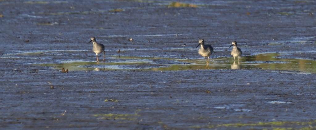 Two Lesser Yellowlegs sandwich a Greater Yellowlegs. 6 1/2 Station Road Sanctuary, 9/26/14.