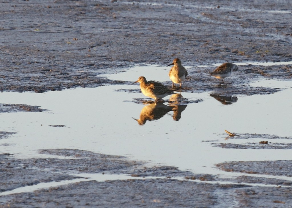 Two Pectoral Sandpipers with what I believe is a Semipalmated Sandpiper. 6 1/2 Station Road Sanctuary, 9/26/14.