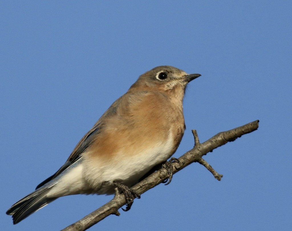 Eastern Bluebird, 6 1/2 Station Road Sanctuary, 10/6/14.
