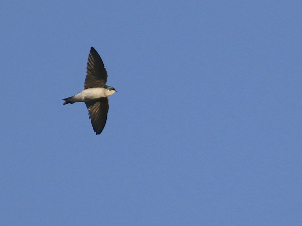 I had nearly 20 Tree Swallows tonight. 6 1/2 Station Road Sanctuary, 10/6/14.
