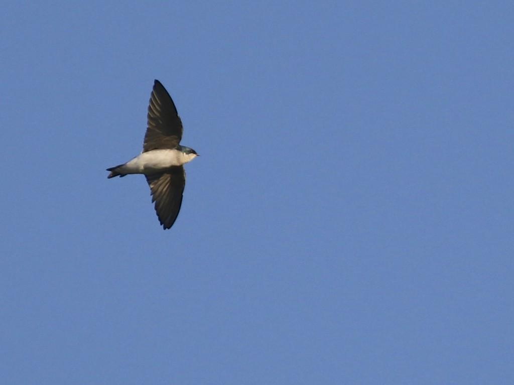 I had nearly 20 Tree Swallows tonight. 6 1/2 Station Road Sanctuary, 10/6/14.