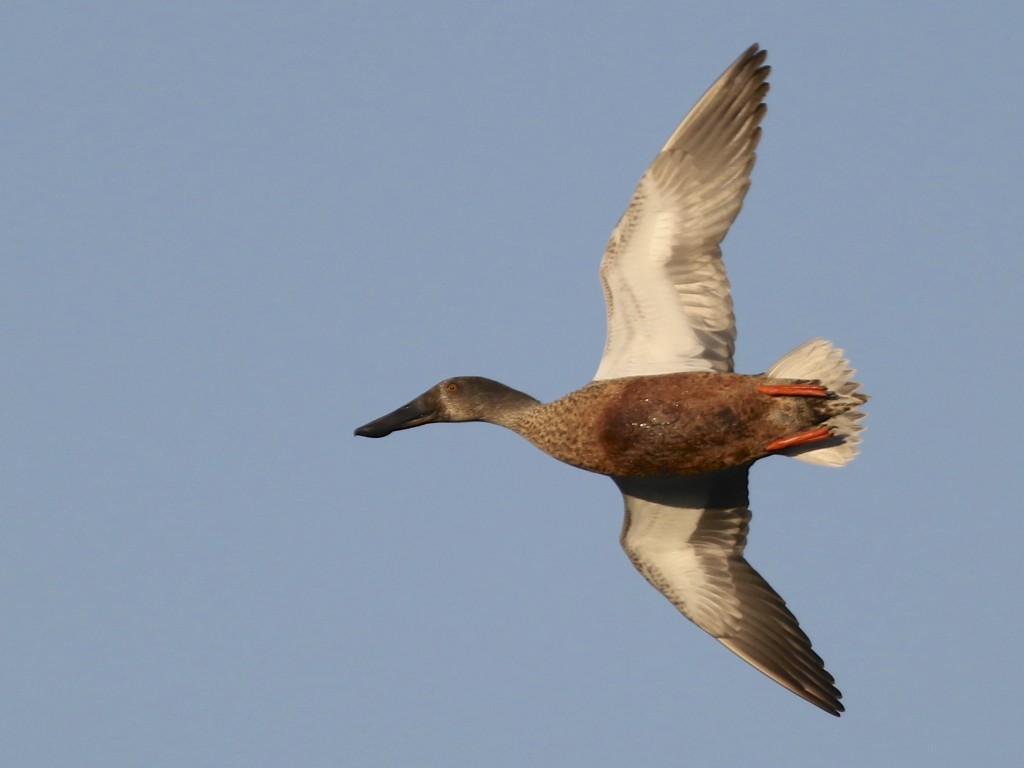 One of four Northern Shovelers takes a lap around the Citgo Trail pond at 6 1/2 Station Road Sanctuary, 10/6/14.