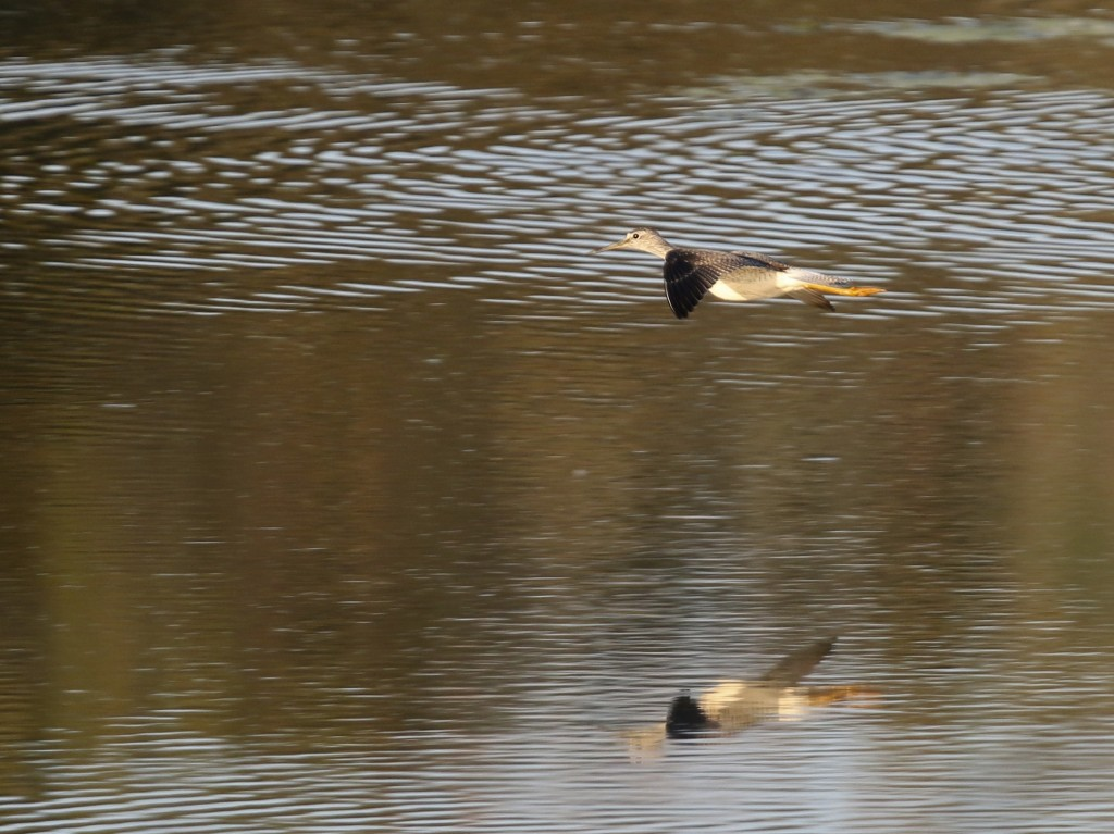 A Lesser Yellowlegs takes flight when a Northern Harrier flew over. 6 1/2 Station Road Sanctuary, 10/6/14.