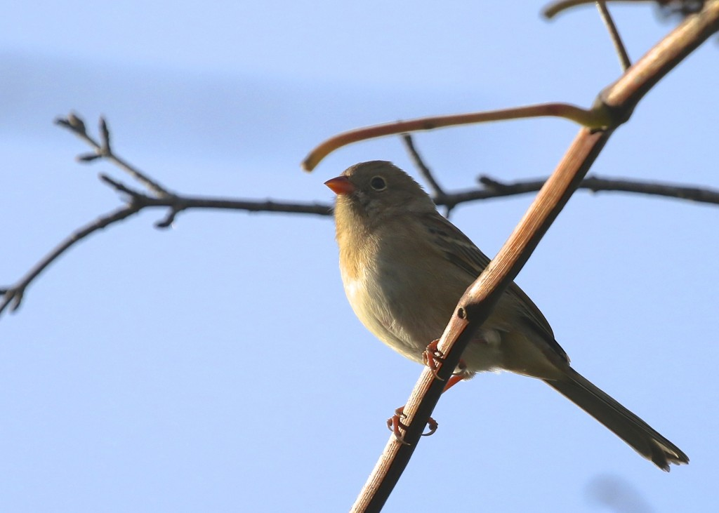 It was great to see several Field Sparrows at Winding Waters Trail at the Wallkill River NWR, 10/10/14.