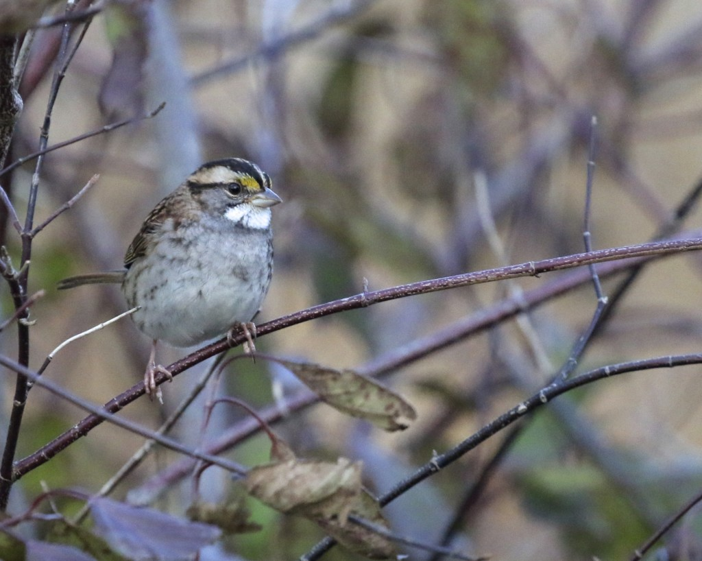 This photo is not very representative of how it looked when I saw this bird. This was taken on Friday night and it was nearly dark out. I had my ISO cranked up to 3200 and somehow the photo is not too noisy. White-throated Sparrow,Winding Waters Trail at the Wallkill River NWR, 10/10/14.