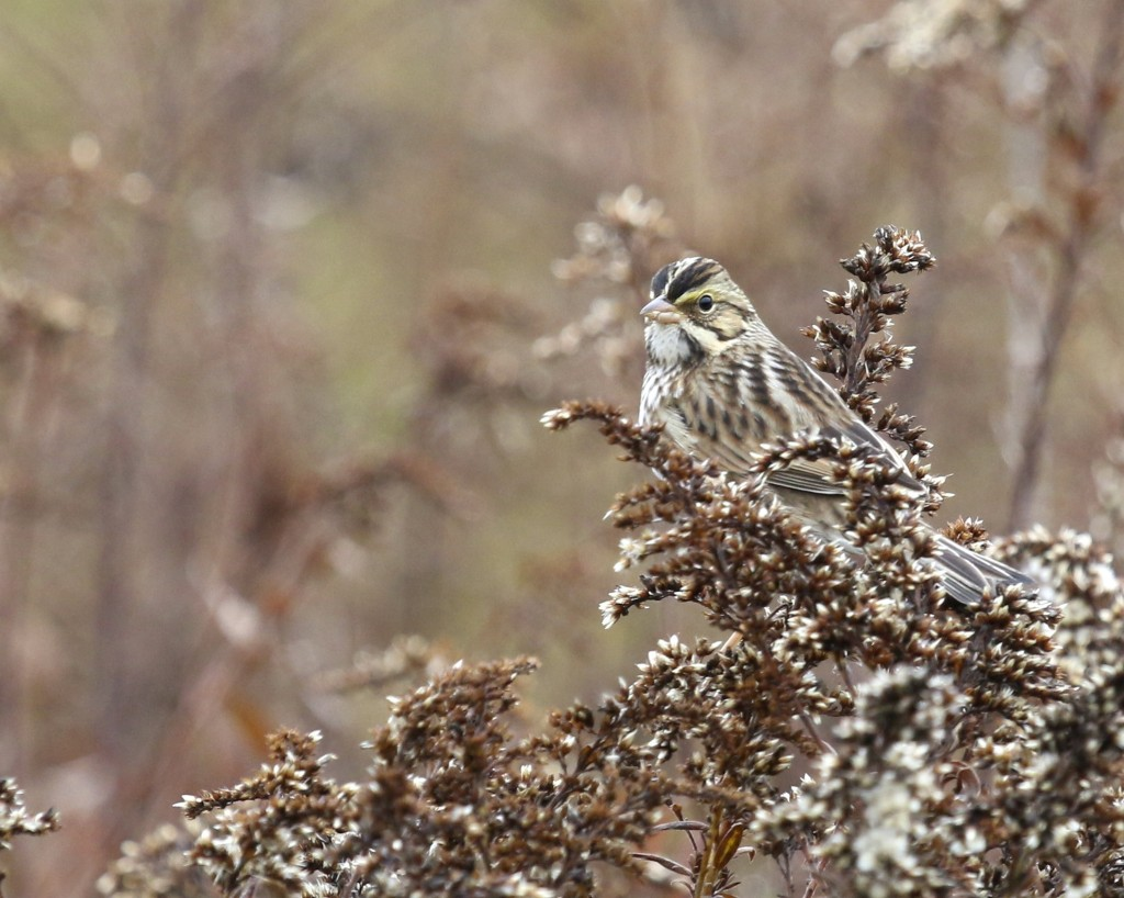 Savannah Sparrow at Winding Waters Trail at the Wallkill River NWR, 10/11/14.