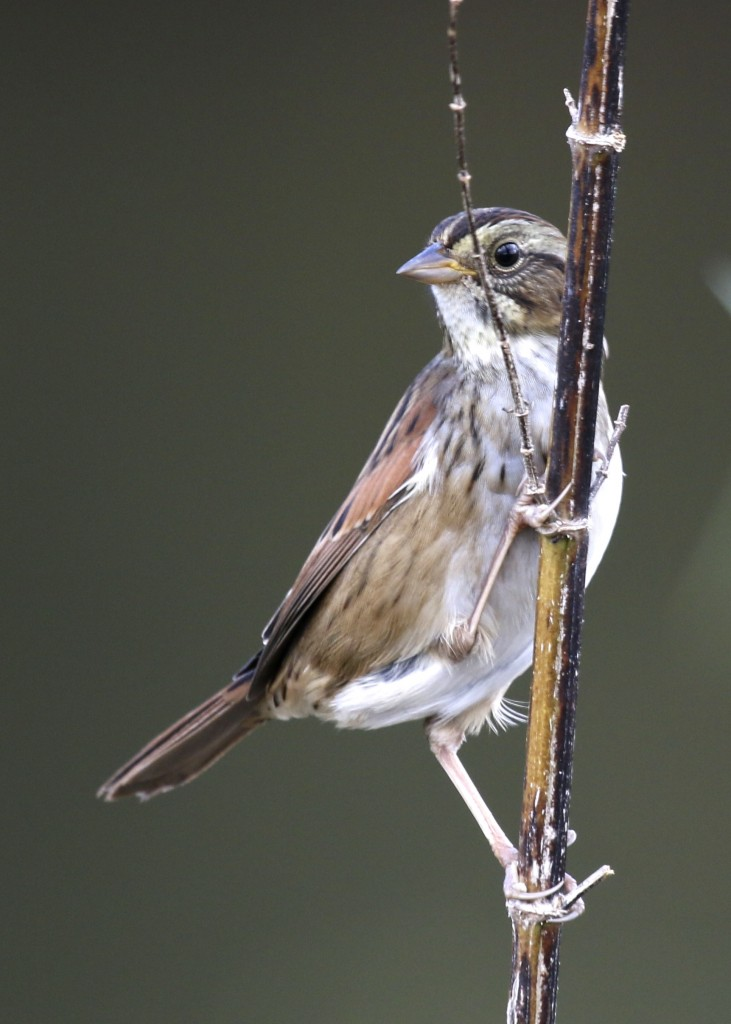 A Swamp Sparrow does its thing at Wallkill River NWR, Winding Waters Trail, 10/16/14.