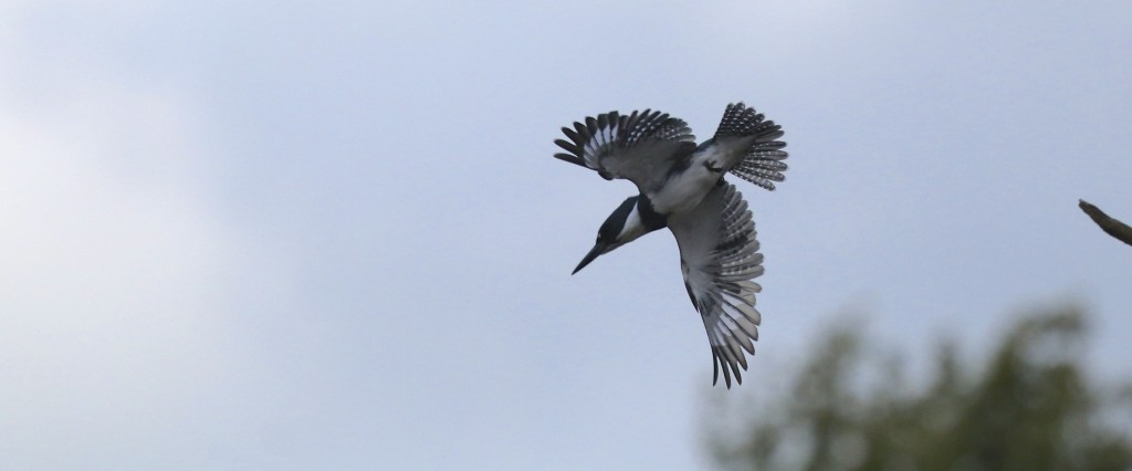 I finally got a shot of the Belted Kingfisher that has been hanging around WW Trail. Not a good one, but what can you do? Belted Kingfisher at Wallkill River NWR, Winding Waters Trail, 10/16/14.