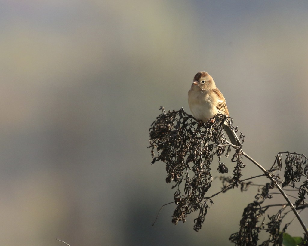 I am seeing Field Sparrows in a new light this fall. I think they are a pretty good looking bird. Winding Waters Trail, 10/16/14.