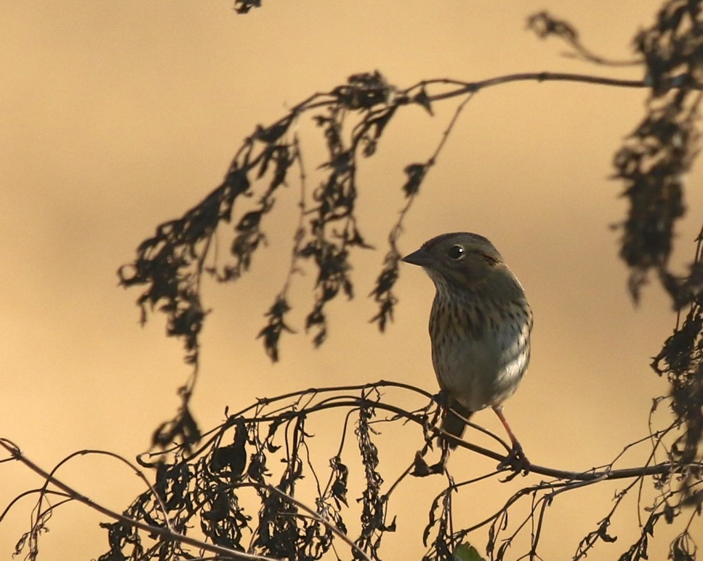 A Lincoln's Sparrow in the shadows at Winding Waters Trail, 10/16/14. This is a bird that I would like to get a decent photo of.