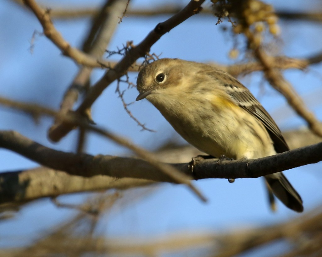 Yellow-rumped Warbler at 6 1/2 Station Road Sanctuary, 10/17/14.