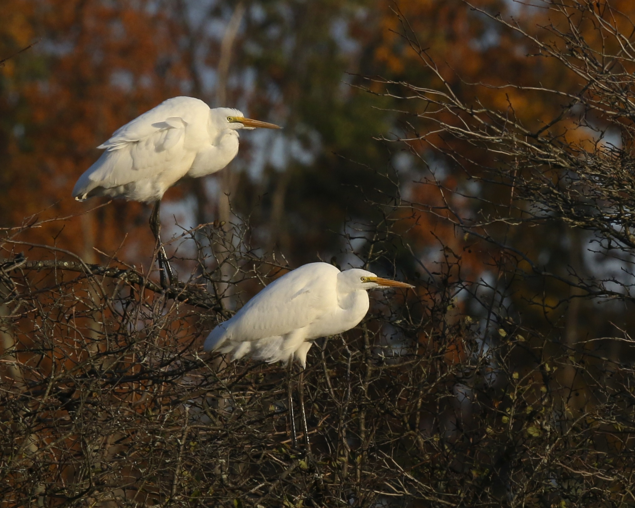 Two Great Egret perch facing into the wind on Friday night. 6 1/2 Station Road Sanctuary, 10/17/14.