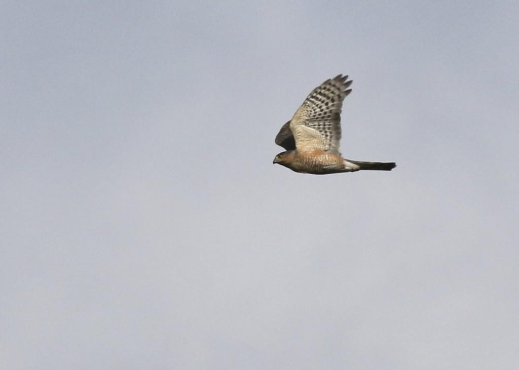 One of 7 Cooper's Hawks, migrating past Mount Peter Hawk Watch, 10/18/14.