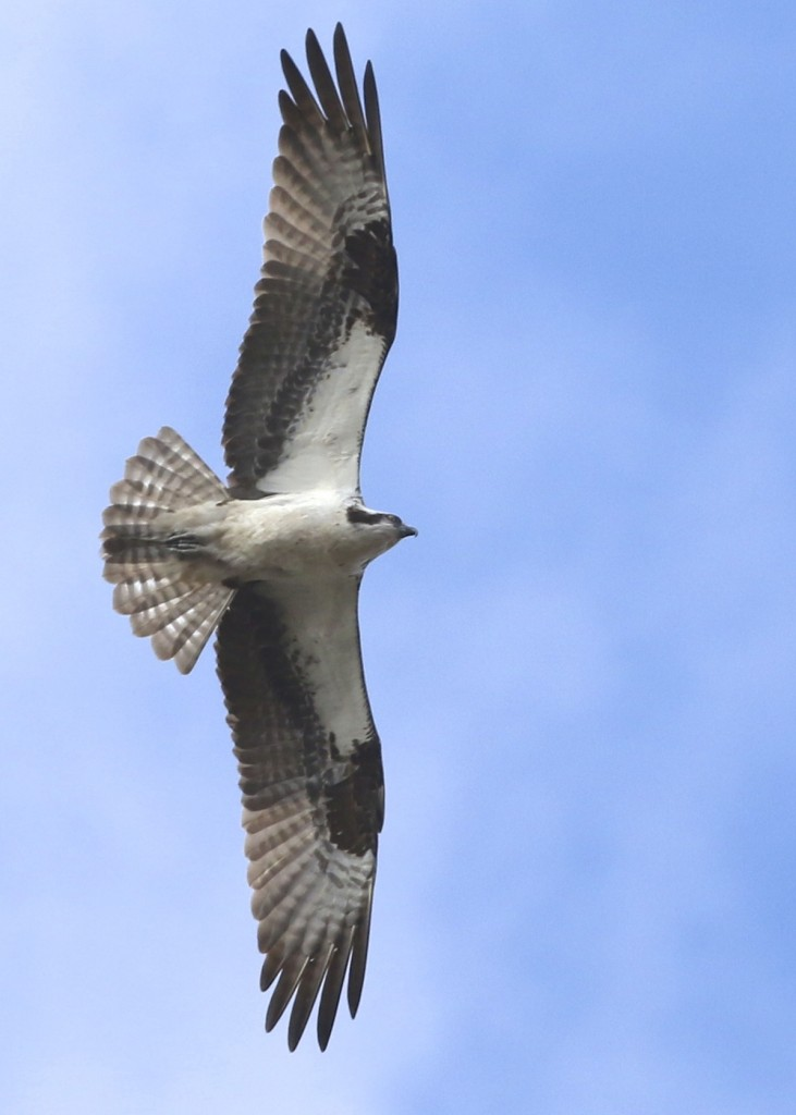 One of 3 migrating Osprey at Mount Peter Hawk Watch, 10/18/14.